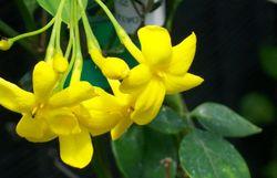 Un jasmin jaune semi grimpant