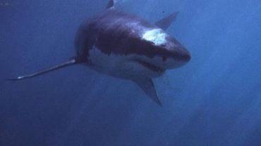 Les requins inquiètent les autorités australiennes.