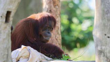 Les naissances d'orangs-outans sont extrêmement rares, la seule enregistrée en Belgique remonte à l'année 1973