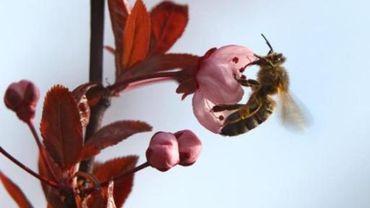 La Belgique, pays européen où le taux de mortalité des abeilles est le plus important