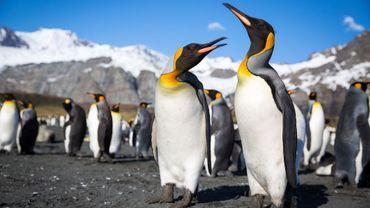 Le manchot royal produit trop de gaz hilarant dans ses excréments: dangereux pour la couche d'ozone