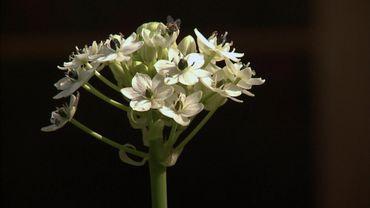 Une plante à bulbe d'origine africaine remarquable dans un parterre :