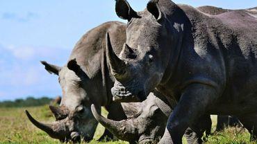 Un trio de rhinocéros blancs dans la réserve animalière d'Ol-Peteja à Nanyuki.