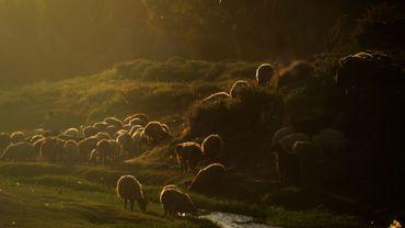 Les moutons doivent quitter les Hautes-Fagnes, ils ne broutent pas assez les plantes néfastes (Image d'illustration)