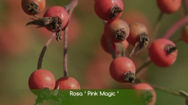 Le cynorhodon, fruit du rosier, est aussi beau que bon.