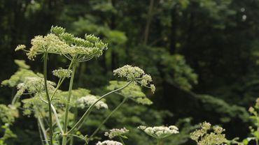 La berce, une plante sauvage délicieuse