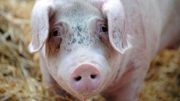 En 1990, la Wallonie comptait 1997 élevages de porc; aujourd'hui, il n'y en a plus que 179.