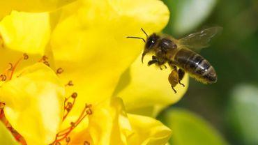 Le plan Maya vise à sauvegarder les populations d'abeilles et d'insectes butineurs.