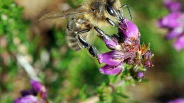 Trois nouvelles espèces d'abeilles découvertes en Afrique du Sud
