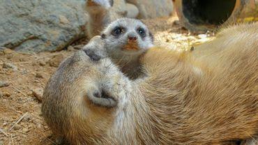 Deux bébés suricates au Bioparc Ukumari, à Pereira en Colombie, le 7 août 2020