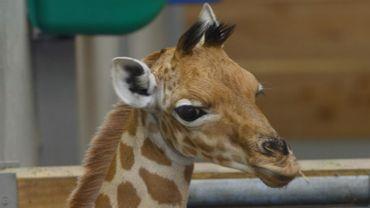 Mukiri, le nouveau bébé girafe du parc animalier de Planckendael