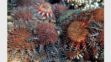 Photo de l'Institut australien des Sciences marines (AIMS), diffusée le 2 octobre 2012 et montrant une étoile de mer mangeuse de corail