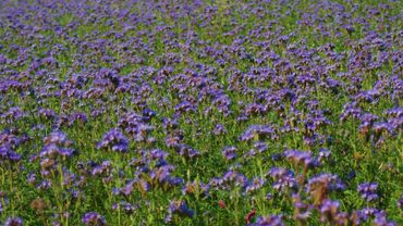 Des champs de fleurs jaunes ou mauves dans les campagnes ces ...
