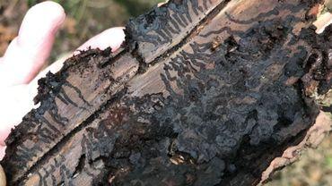 Le scolyte fait aussi des ravages à Fleurus