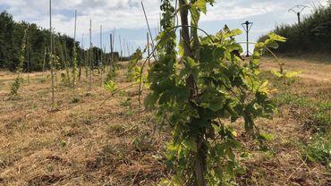 Wanze: du houblon à la ferme bio du Val Notre-Dame