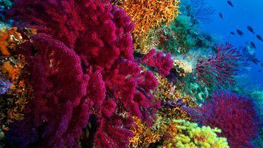 L'Acropora tenuis, espèce de corail particulièrement menacée par le réchauffement climatique, compte trois morphologies de couleur : marron, violet et jaune-vert.