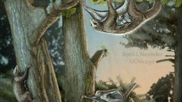 Image fournie par l'Université de Chicago le 8 août 2017 représentant un Maiopatagium, petit mammifère préhistorique, grimpant sur un arbre avec son bébé