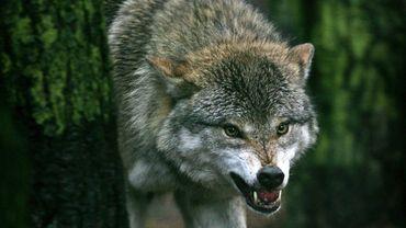 Un loup a été filmé dans la région de Gedinne