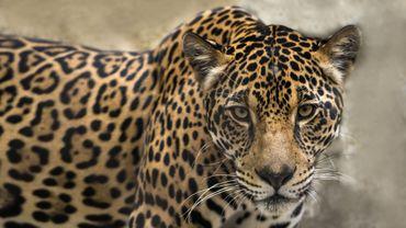 Le mur de Trump, une menace pour les jaguars, dénoncent des défenseurs de l'environnement.