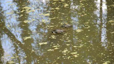 Tortues de Floride dans un étang bruxellois