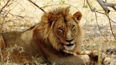 lion du désert