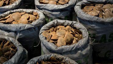 Des écailles de pangolin, une espèce en danger, photographiées le 5 septembre 2018 après une saisie à Hong Kong