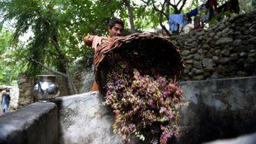 Récolte du raisin le 27 septembre 201 dans le village de Sher Qilla au Pakistan.