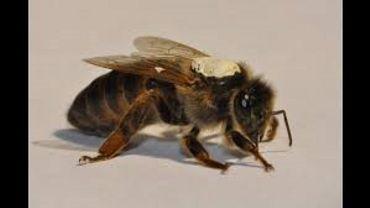 Les abeilles de Jurbise et Honnelles mises à mal par une bactérie