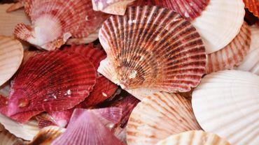 La plupart des récifs de coquillages ont disparu au XIXe siècle et au début du XXe siècle à cause de la surpêche, de la modification de l'habitat, de maladies, d'espèces invasives et de la dégradation de la qualité de l'eau.