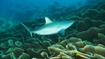 Photo non datée fournie le 28 octobre 2015, montrant un requin dans les eaux de l'archipel des Palaos dans l'océan Pacifique. AFP PHOTO/THE PEW CHARITABLE TRUSTS/Richard BROOKS