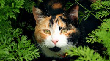 Les chats calico ne peuvent être que des femelles et seraient plus agressifs que leurs congénères avec d'autres types de coloration.