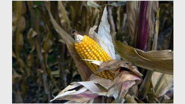 Du maïs transgénique