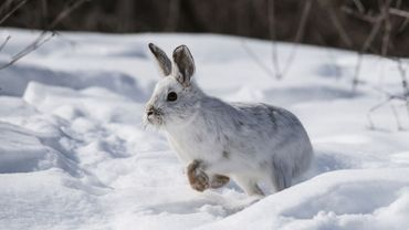 Ces animaux cessent de changer de couleur l'hiver, car il n'y a plus assez de neige !