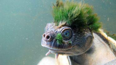 La tortue de la Mary River, qui peut passer jusqu'à trois jours sous l'eau, a rejoint la liste des reptiles menacés de la Zoological Society of London (ZSL).