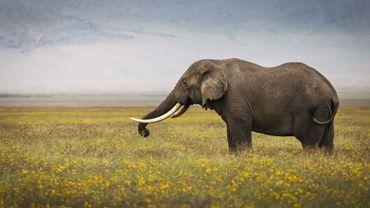 Singapour détruit neuf tonnes d'ivoire à la veille de la journée de l'éléphant