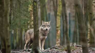 Neuf régions alpines demandent que le loup soit moins protégé