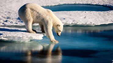 Alaska: Donald Trump autorise la chasse aux ours polaires, aux loups et à leurs petits