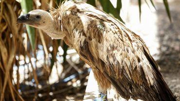Photo de Nelson, un vautour fauve en provenance de Bulgarie, dans la capitale yéménite Sanaa, le 23 avril 2019