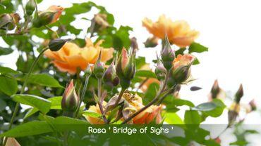 Zoom sur le rosier 'Pont des Soupirs'