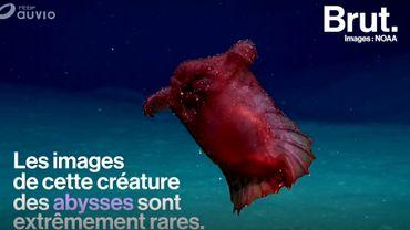 """""""Le poulet sans tête"""" : une étrange créature abyssale filmée en Antarctique"""