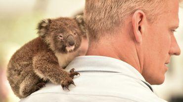 Un koala orphelin sur l'épaule d'un vétérinaire dans la clinique de campagne dans la réserve zoologique Wildlife Park de l'île Kangourou, le 14 janvier 2020