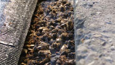 Chez Laurence Calimé, des milliers d'abeilles mortes jonchent le sol autour des ruches.