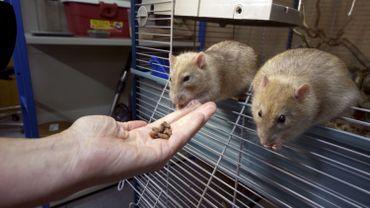Des rats utilisés par la police hollandaise pour déceler de la drogue.