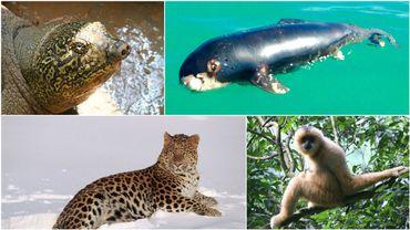 La tortue de Winhoe, le panda des mers, le léopard de l'Amour, et le gibbon de Hainan: 4 espèces en danger critique, dont il reste moins de 100 individus sur Terre.
