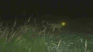 La présence d'un loup dans les Fagnes officiellement confirmée !