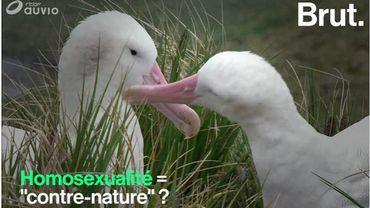 """L'homosexualité animale """"contre nature""""? Réponse de l'éthologue Fleur Daugey"""