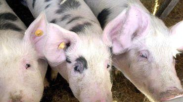 Un élevage de porcs
