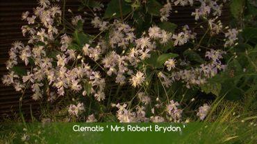 Cette clématite fleurit fin août
