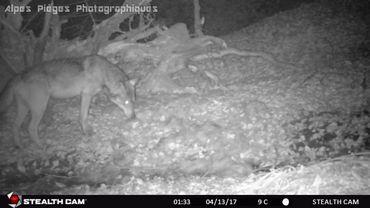 """Des pièges photographiques pour """"capturer"""" le loup près de La Roche-en-Ardenne"""
