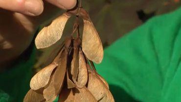 Les samares de l'érable sycomore sont toxiques et mortels pour les chevaux